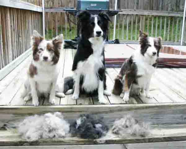 Border Collie Shedding How Do We Stop Or Control It