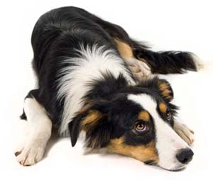 Border collie faq frequently asked questions about border collie dogs