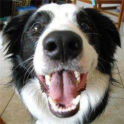 border collie stinky breath problem