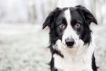 border collie nutrition