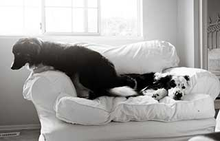 border collie on bed