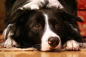 sad border collie face